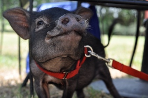 brunch pig